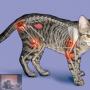 Katten en artrose