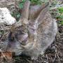 Myxomatose en Viraal Hemorragisch Syndroom bij het tamme konijn